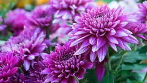 Chrysanthemum Flower for your loved ones